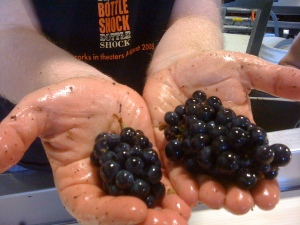 Beautiful small pinot noir clusters from Oppenlander Vineyard, 2009