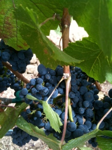 115 clone pinot noir on the vine at Deer Meadow Ranch vineyard