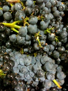 Pinot noir fruit Savoy's Deer Meadow Ranch vineyard at sorting
