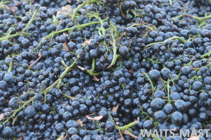 Pinot Noir grapes from Mariah Vineyards arrives on Sept. 7. Photo: J. Waits